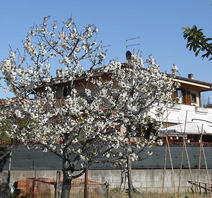 1. ciliegio in fiore-aprile 2020-foto di Laura Candiani