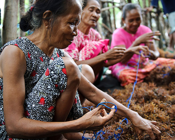 Women harvesting sea weed for agar agar at a small village, Ujung Baji, Takalar, Sulawesi, Indonesia.
